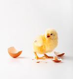 Little chicken. Just the born chicken on a white background Stock Photo