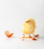 Little chicken. Just the born chicken on a white background Stock Image