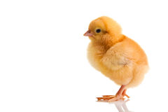 Little chicken animal isolated Stock Images