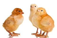Little chicken animal isolated Royalty Free Stock Photography