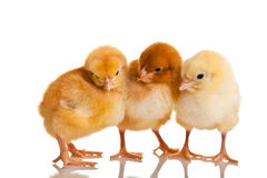 Little chicken animal isolated Royalty Free Stock Photo