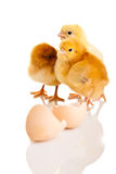 Little chicken animal isolated Stock Photos