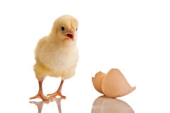 Little chicken animal isolated Stock Photo