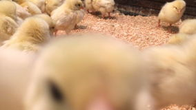 Little chicken attack the camera in the coop. Many cute chickens fight with camera stock video