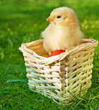 Little chicken in the basket with eggs Stock Photos