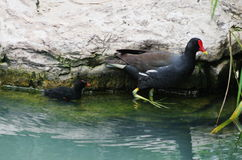 A little chicken and a birdling of moorhen Royalty Free Stock Photos