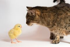 Little chicken broiler with cat on white background royalty free stock photos