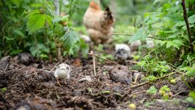 Little chicken catch up with the brood. In the garden. Life in the village, Ukraine royalty free stock photography