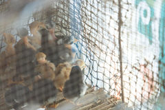Little Chicken. S stay in cage Stock Photo