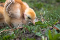 Little chicken, closeup, yellow chicken on the grass. Breeding small chickens. Poultry farming royalty free stock photo