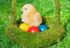 Little chicken with colored eggs Royalty Free Stock Image