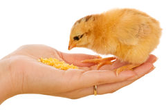 Little chicken eating from palm Stock Photos