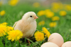 Little chicken Stock Image