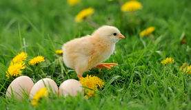Little chicken Stock Photography