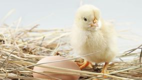 Little chicken and egg in the hay closeup stock video footage