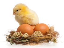 Little chicken and eggs in nest Royalty Free Stock Photos