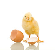 Little chicken with eggshell Royalty Free Stock Photography