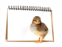 Little chicken and empty card Royalty Free Stock Photos