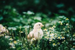 A little chicken in garden. Little angry chicken standing on the earth and shouting royalty free stock photography