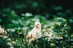 Little angry chicken standing on the earth and shouting. A little chicken in garden stock photo