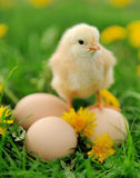 Little chicken on the grass Stock Images