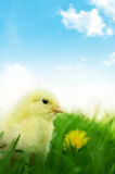 Little chicken on green grass and blue background Royalty Free Stock Images