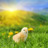 Little chicken. On the green grass in summer day Royalty Free Stock Photos