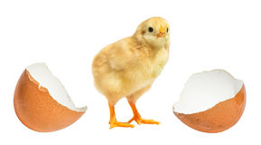 Little chicken hatched from an egg isolated. Stock Images