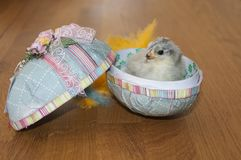 A little chicken inside an easter egg. With feathers Royalty Free Stock Image