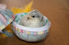 A little chicken inside an easter egg. With feathers Stock Photo