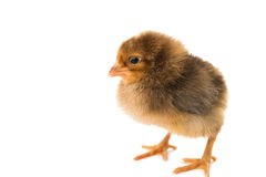 Little chicken isolated Royalty Free Stock Photography