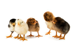 Little chicken isolated Royalty Free Stock Photo