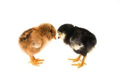 Little chicken isolated Stock Photos