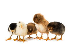 Little chicken isolated Royalty Free Stock Image