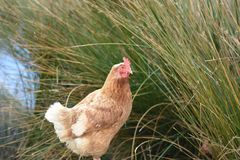 Little Chicken in Kaikoura New Zealand royalty free stock images