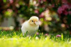 The little chicken Royalty Free Stock Photos