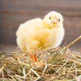 Little chicken Stock Photos