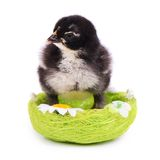 Little chicken in the nest.  Easter Stock Photos