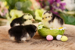 Little chicken in the nest.  Easter Royalty Free Stock Photo