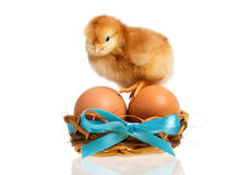 Little chicken in nest with eggs Stock Photography