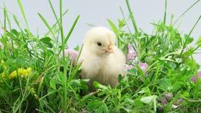 Little chicken pecking the grass stock video