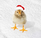 Little chicken in the red Santa hats. Merry Christmas, Happy New Royalty Free Stock Image