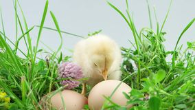 Little chicken shaking his wings in grass. Near two eggs stock footage