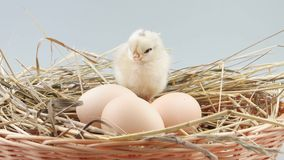 Little chicken sits in nest near three eggs stock video