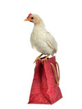 Little chicken sitting on shopping bag Stock Photography