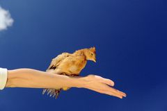 Little Chicken Sitting on Spread Arm Stock Photo