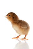 Little chicken studio isolated Royalty Free Stock Image