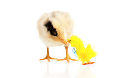Little chicken and toy Royalty Free Stock Images