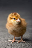 The little chicken Royalty Free Stock Image