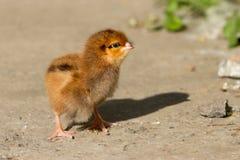The little chicken Stock Photos